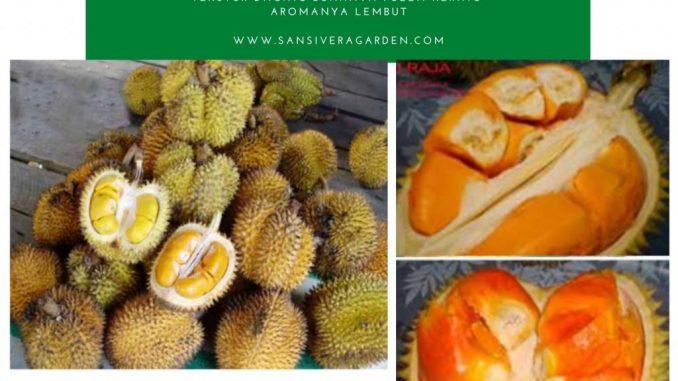 Durian khas hutan Bornea