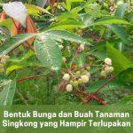 bentuk bunga dan buah tanaman singkong