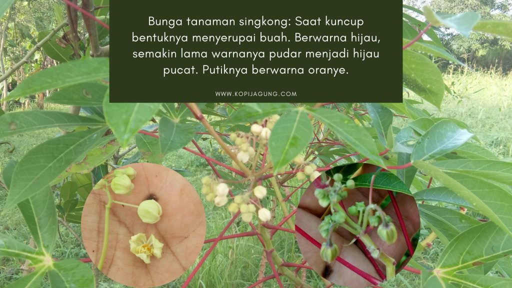 Bunga Tanaman Singkong