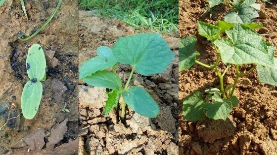 Pertumbuhan mentimun Madura