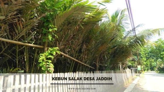 Kebun Salak Desa Jaddih