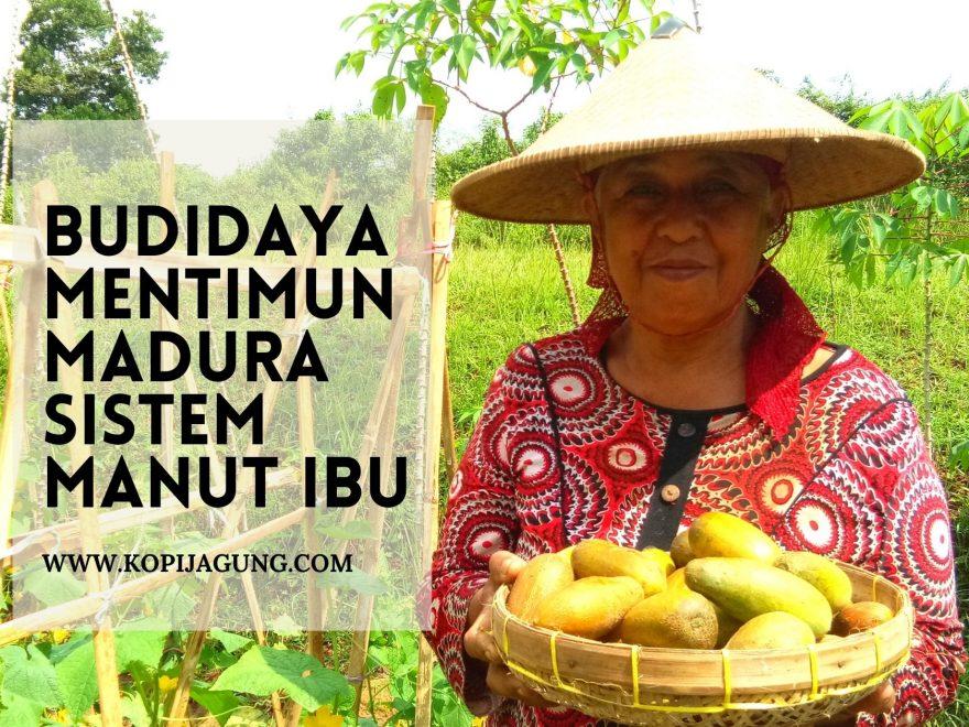 Budidaya Mentimun Madura